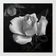 White Rose Canvas Print