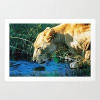 Lion Drinking Art Print
