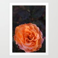 Holland Park Rose Art Print