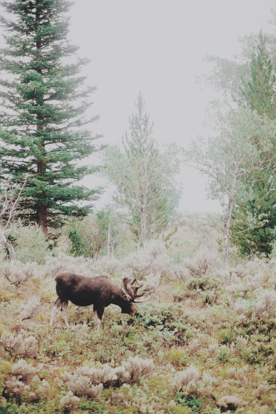 Moose 1 Canvas Print