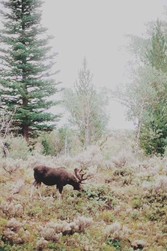 Moose 1 Art Print