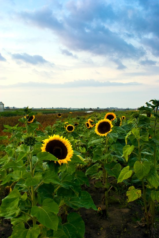 Sunflower Row Canvas Print