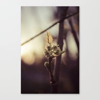 Raspberry sprout Canvas Print