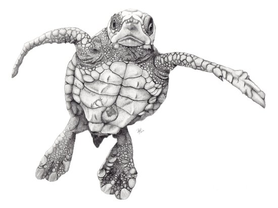 Chelonioidea (the turtle) Canvas Print