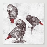 Three Grey Parrots Canvas Print