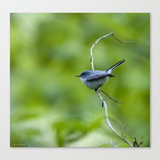 blue/gray gnatcatcher Canvas Print