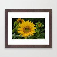 September Sunflower Framed Art Print