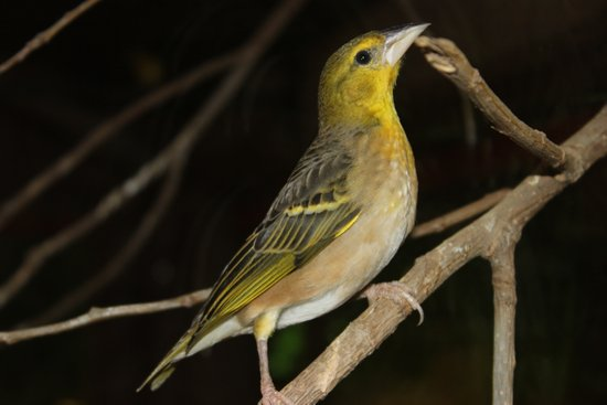Yellow Birdy Art Print
