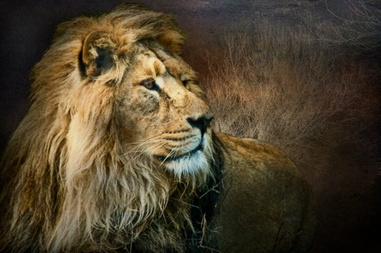 Serengeti Lion Art Print
