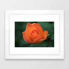 Orange Rose. Framed Art Print