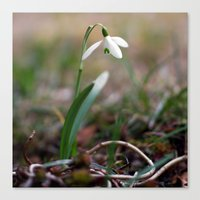 Snowdrop -  Spring Flower Nature Macro Photography Canvas Print