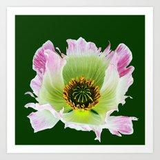 Papaver Somniferum Art Print