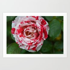 paint the roses red Art Print