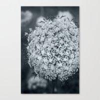 Queen Anne's Lace Flower… Canvas Print