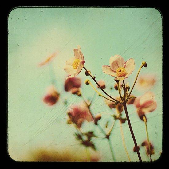 ttv Japanese Anemones  Art Print