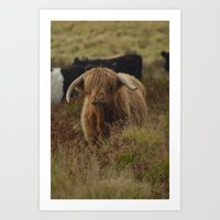 Highland Cow Exmoor Art Print