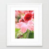 Dianthus Chinensis Framed Art Print