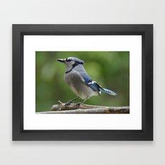 A Northern Blue Jay Framed Art Print