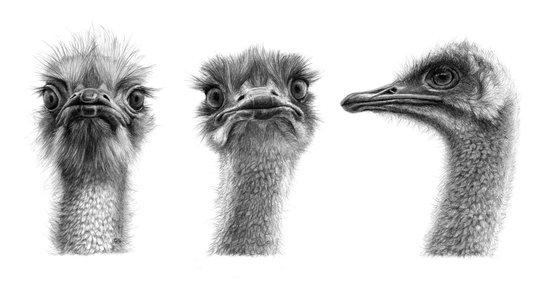 Three ostriches SK1005354 Art Print