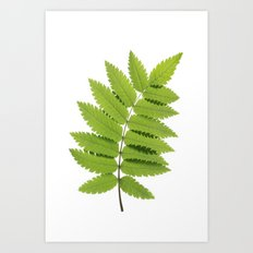 Green Rowan Leaf  Art Print