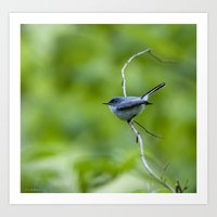 blue/gray gnatcatcher Art Print
