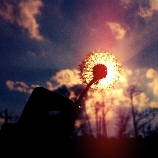 Dandelion in the Sun Art Print