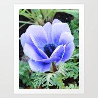 Purple Poppy Anemone I Art Print