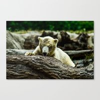 Young Pole Bear Canvas Print