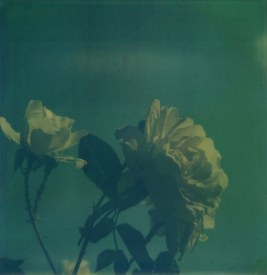 Blue Roses Polaroid Art Print