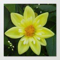 Yellow Tufted Dahlia Canvas Print