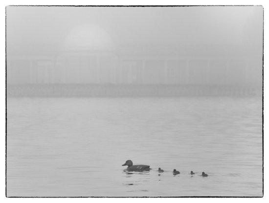 Ducks in the Fog Art Print