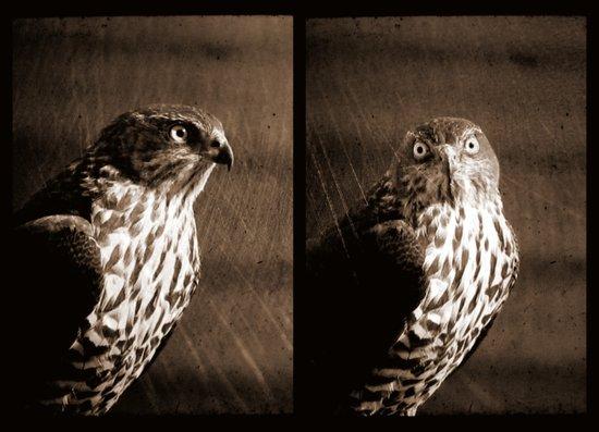 Portrait of a Predator - Diptych Canvas Print