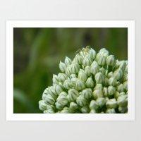 Spider Chive Flower Art Print
