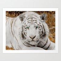 WHITE TIGER GAZE Art Print