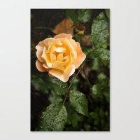 Rose 1 Canvas Print