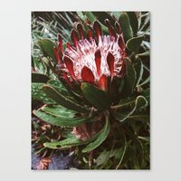 Protea And Raindrops  Canvas Print