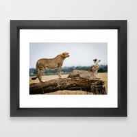 Cheetahs Framed Art Print