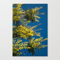 Yellow Mimosa Flowers 2 … Canvas Print