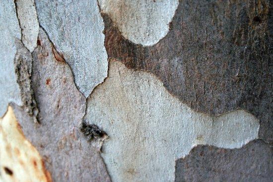 Trunk Of A Eucalyptus Tree  Art Print