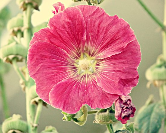 Deep Pink Hollyhock Flower Art Print