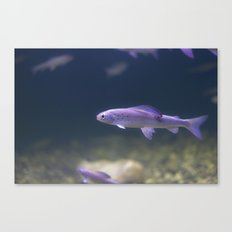 In the Tank: Fish 2 Canvas Print