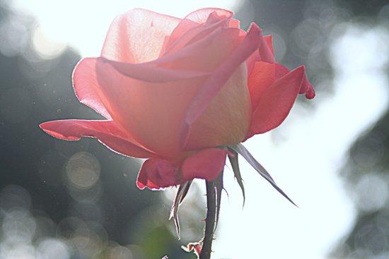 Mughal Rose Art Print