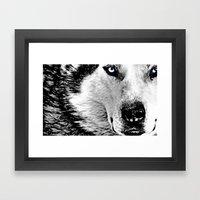 Blue eyed wolf Framed Art Print