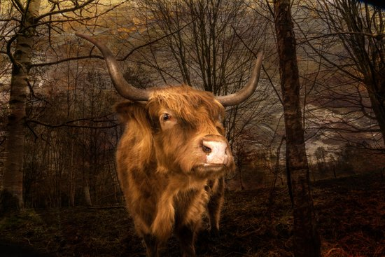 Highland Toffee Coo Art Print