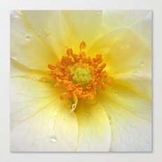 beauty rose Canvas Print