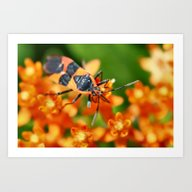 Box Elder Beetle Art Print