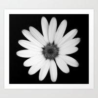 Greyscale Osteospermum Art Print
