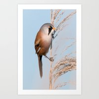 Bearded Tit Art Print