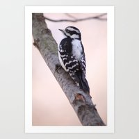 Downy Woodpecker Art Print