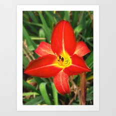 Morning Star Lily Art Print
